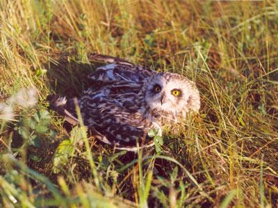 Болотная сова.  Фото С. В. Кондруховой