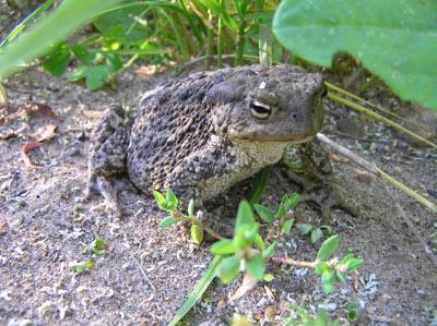 Серая жаба.  Фото Л. Г. Целищевой