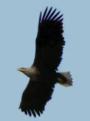 Орлан-белохвост.  Фото С. В. Кондруховой