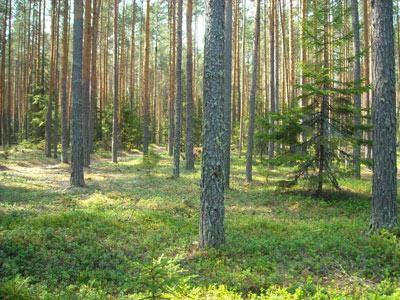 Сосновый бор. Фото Е. П. Лачоха