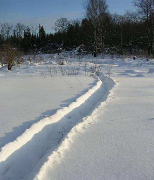 В условиях высокого снегового покрова кабаны придерживаются постоянных маршрутов, превращая их в глубокие траншеи. Фото С. Е. Шубина.