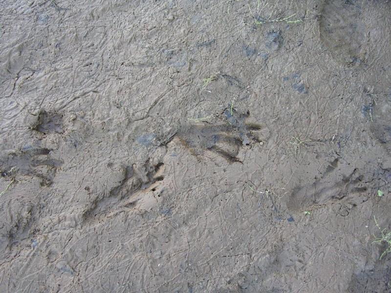 Следы бобра (и учетчика!) на прибрежном песке. Фото С. Е. Шубина.
