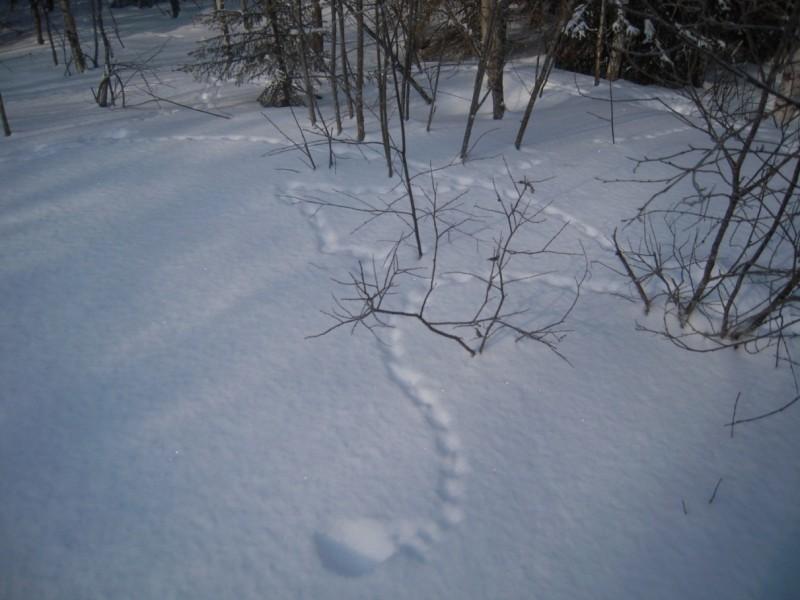 «Наброды» белой куропатки в 35 квартале участка «Тулашор». Фото В. М. Рябова.