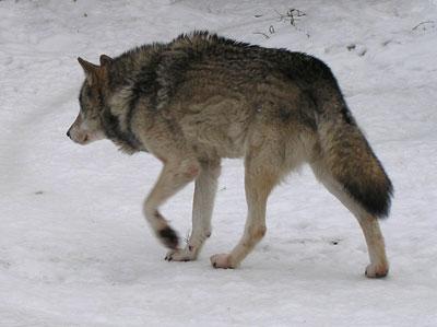 Волк.   Фото Л. Г. Целищевой