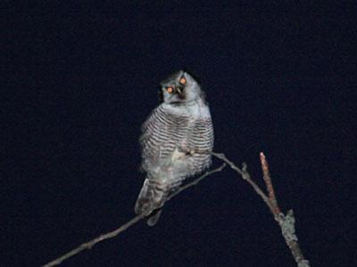 Ястребиная сова.   Фото Л. О. Псёл