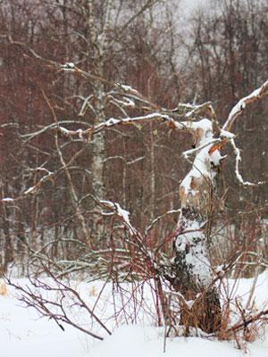 В заповедном лесу.   Фото Л. О. Псёл