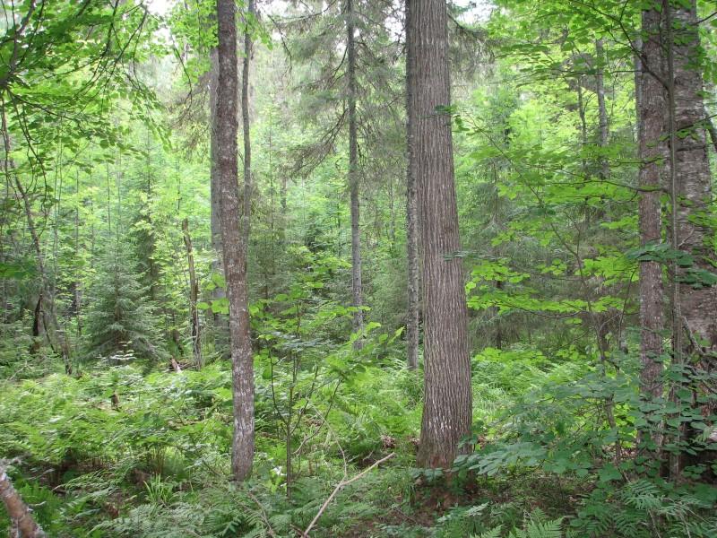 Одно из самых северных мест произрастания липы в Кировской области. Фото Рябова В.М.