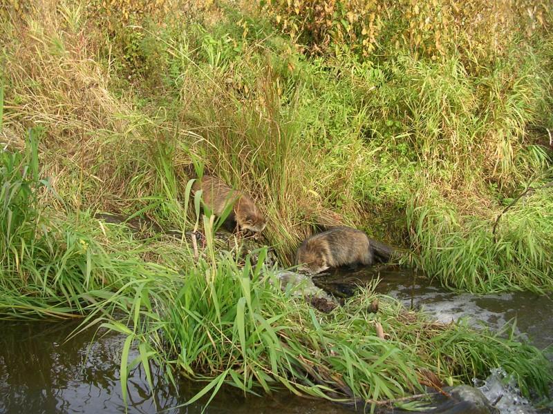 Енотовидные собаки ловят рыбу на бобровой плотине. Фото Шубина С. Е.