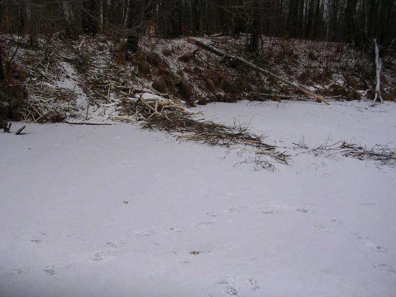 Следы медведя в обход бобровой плотины. Фото Шубина С.Е.