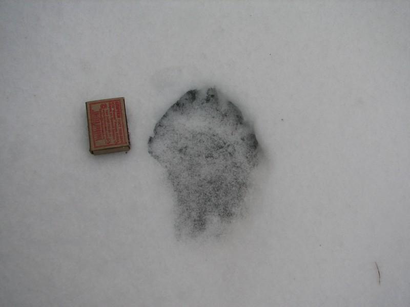 Замерзший след росомахи. Фото Рябова В. М.