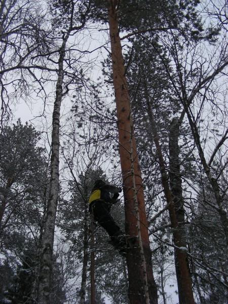 Подъем на вершину сосны. Фото С.В.Кондруховой