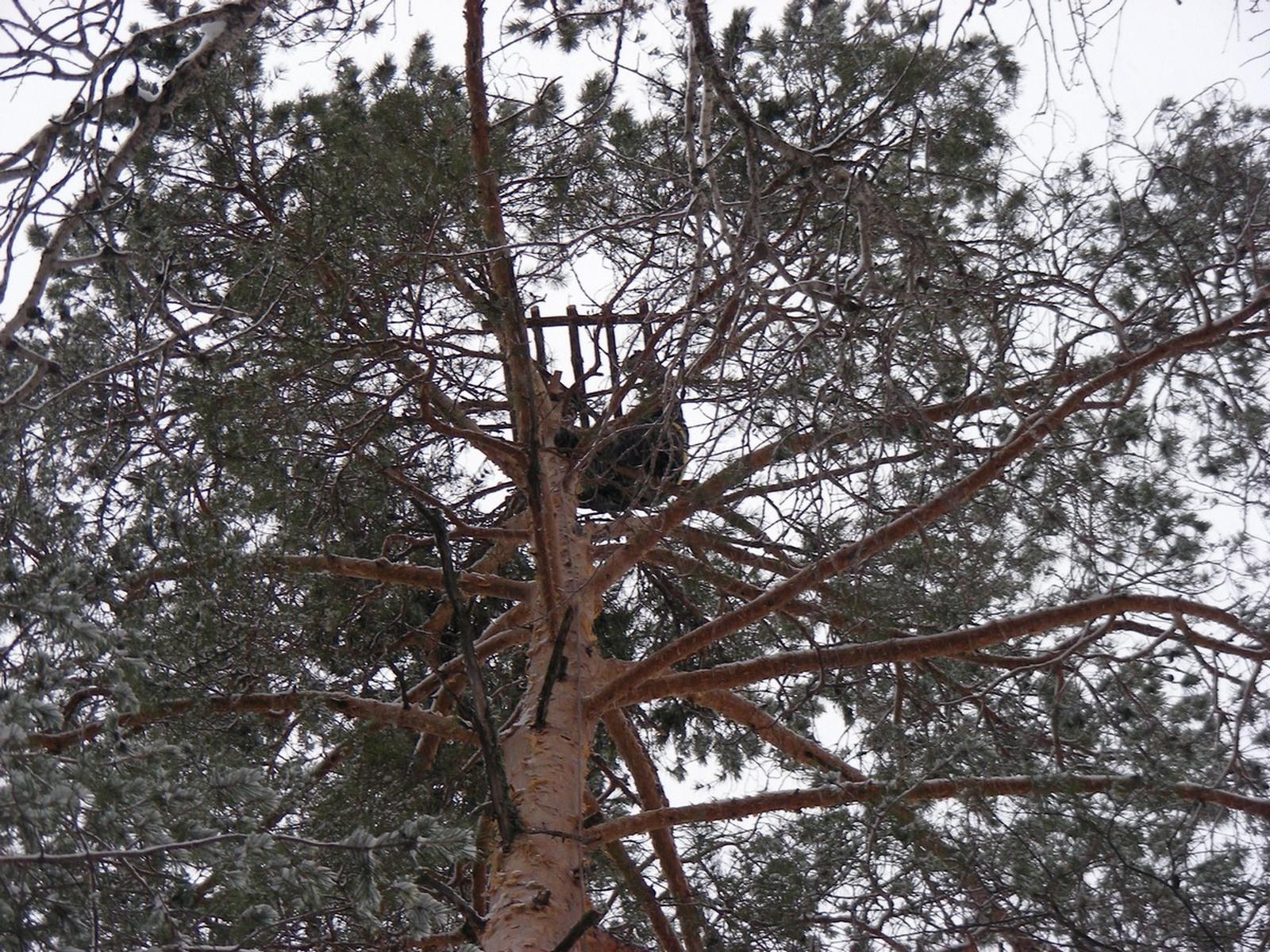 Хищные птицы кировской области