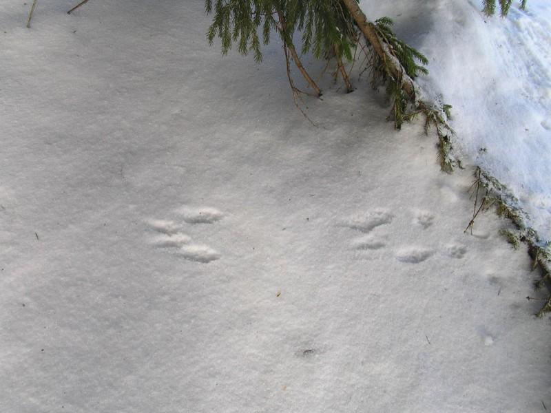 Следы белки. Фото Л.Г. Целищевой