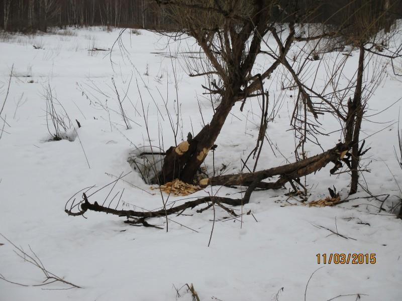 Первые бобровые погрызы после долгой зимы. Фото А.Л.Смертина