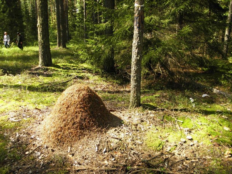 Муравейник северного лесного муравья в охранной зоне заповедника. Фото Л.Г. Целищевой