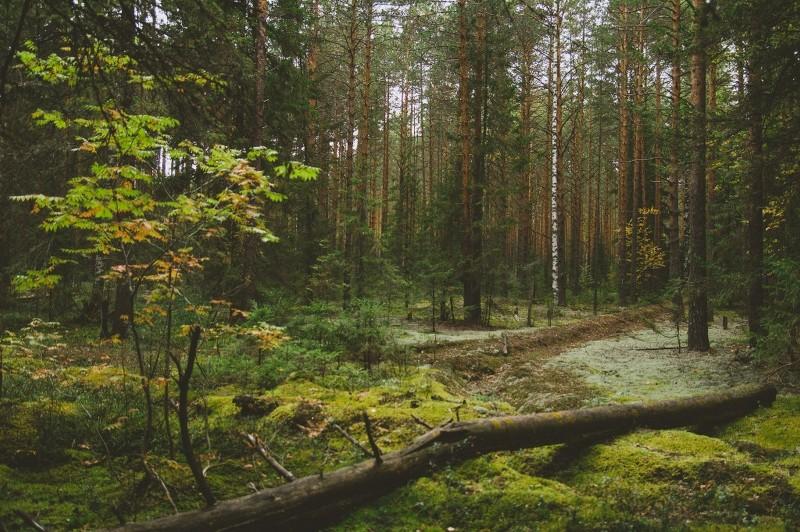 Сосновый лес. Фото Е.П. Кондрухова