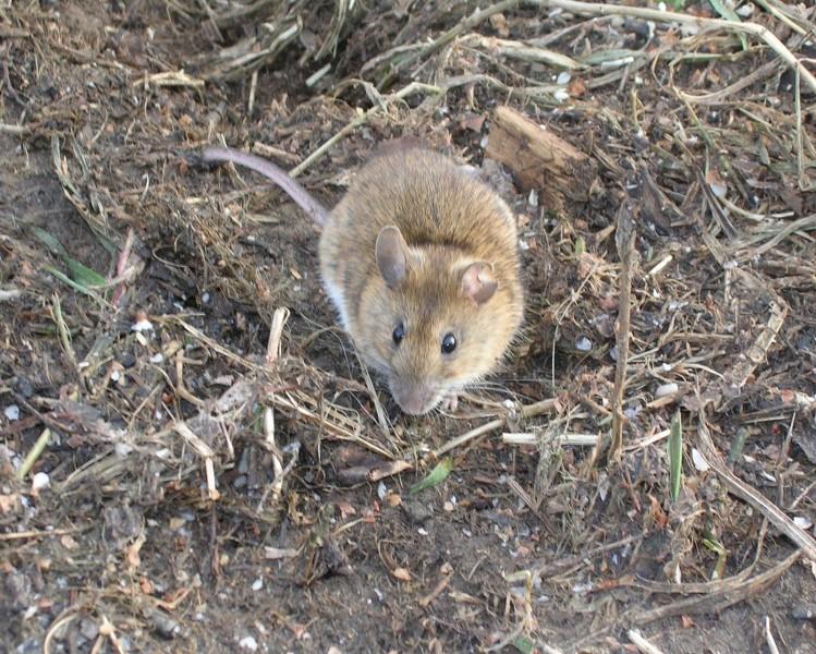 Желтогорлая мышь (взрослый самец). Фото С.Е. Шубина
