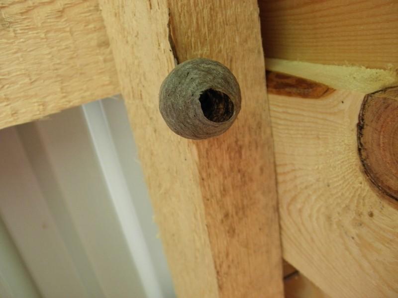 Гнездо осы обыкновенной. Фото Л.Г. Целищевой