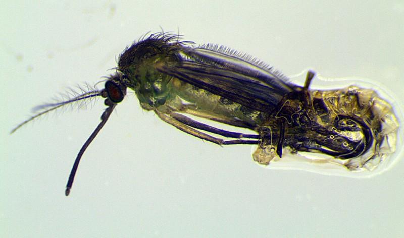Имаго комара Culex territans. Фото А.В. Халина