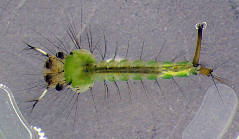 Личинка комара  Culex territans. Фото А.В. Халина