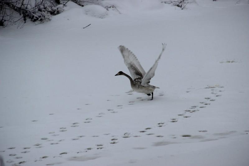 Лебедь-кликун. Фото Е.В. Князевой