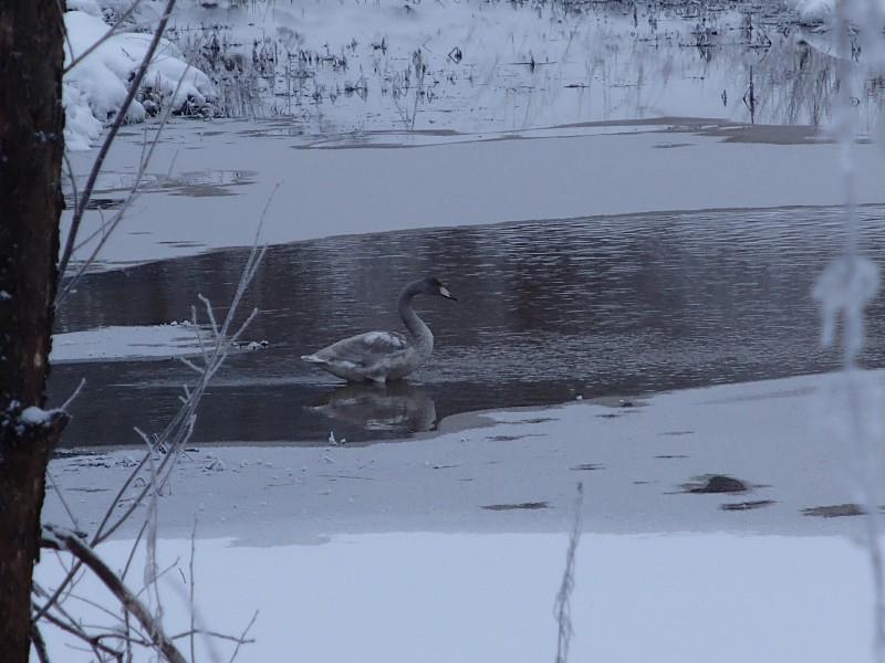 Лебедь на территории охранной зоны заповедника Нургуш. (1) Фото Н.А. Ожегова