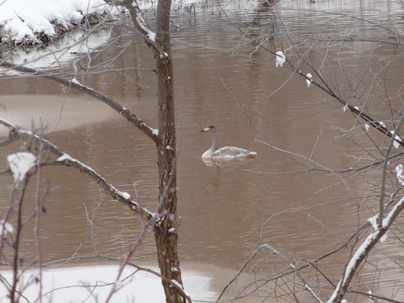 Лебедь на территории охранной зоны заповедника Нургуш. (2) Фото Н.А. Ожегова