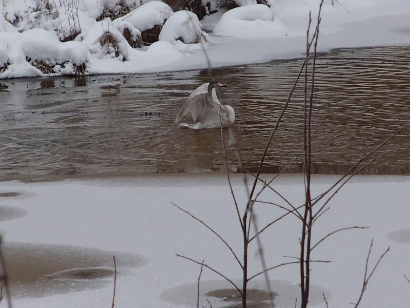 Лебедь на территории охранной зоны заповедника Нургуш. (3) Фото Н.А. Ожегова
