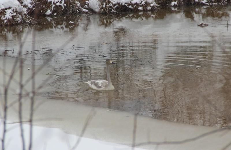 Лебедь в охранной зоне заповедника Нургуш. Фото Е.В. Князевой