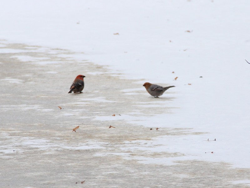 Щуры на озере Черное. Фото Е.В. Князевой