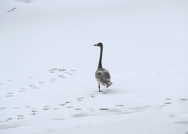 Лебедь-кликун в заповеднике Нургуш. Фото Е. В. Князевой