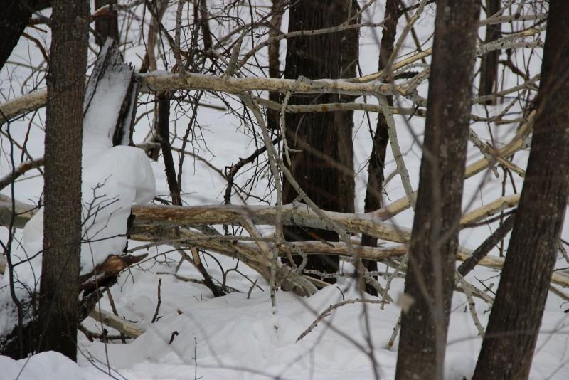 Осина, погрызенная лосями. Фото Е. В. Князевой