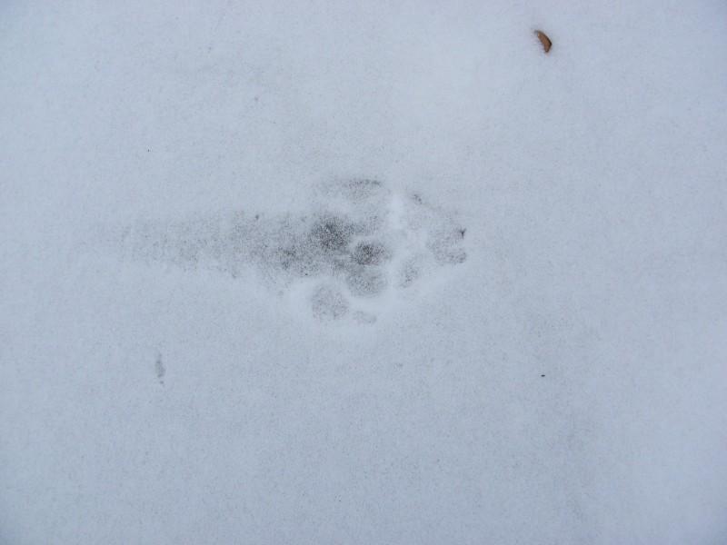 След волка на озере Бабьем. Фото Л. Г. Целищевой