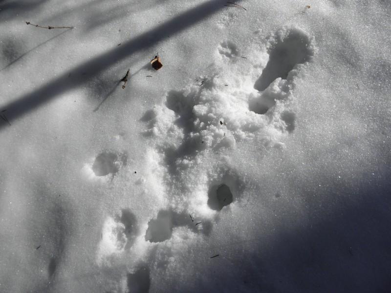 Следы енотовидной собаки. Фото Л.Г. Целищевой