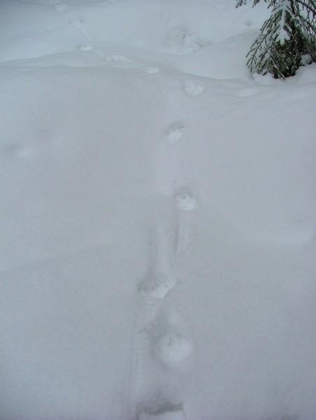 Следы рыси. Фото В. М. Рябова