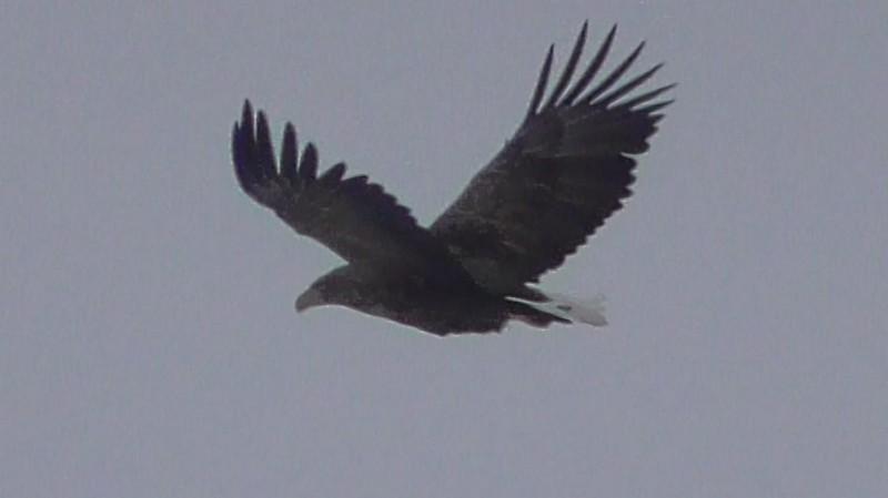 Орлан-белохвост. Фото Н. А. Ожегова (2)