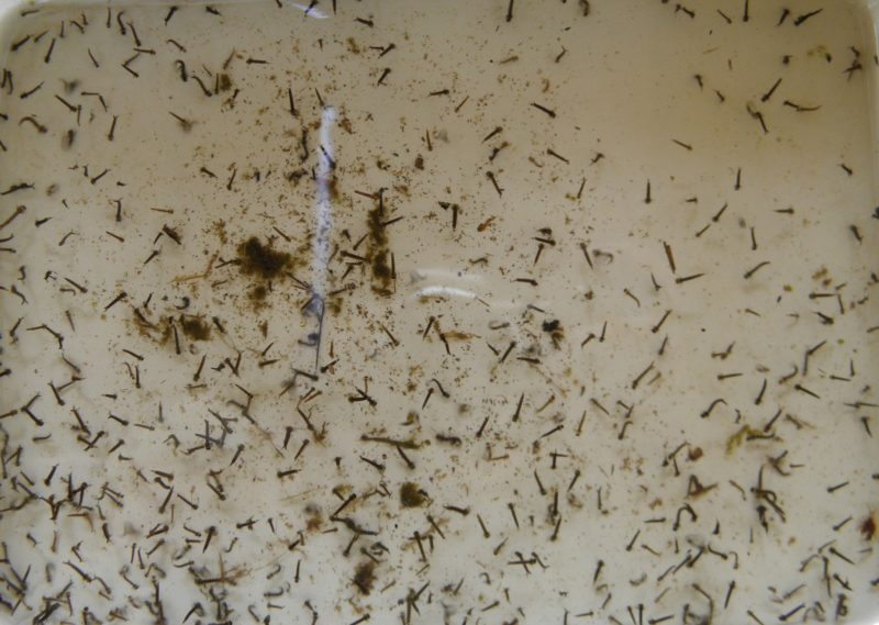 Личинки комаров. Фото Л. Г. Целищевой