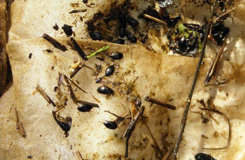 Массовый вид плавунцов в Нургуше - Agabus neglectus. Фото Л. Г. Целищевой (2)