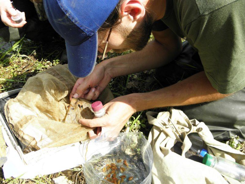 Массовый вид плавунцов в Нургуше - Agabus neglectus. Фото Л. Г. Целищевой