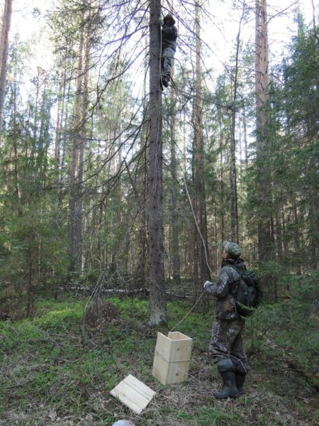 Подъём совятника на дерево. Фото Е. М. Тарасовой