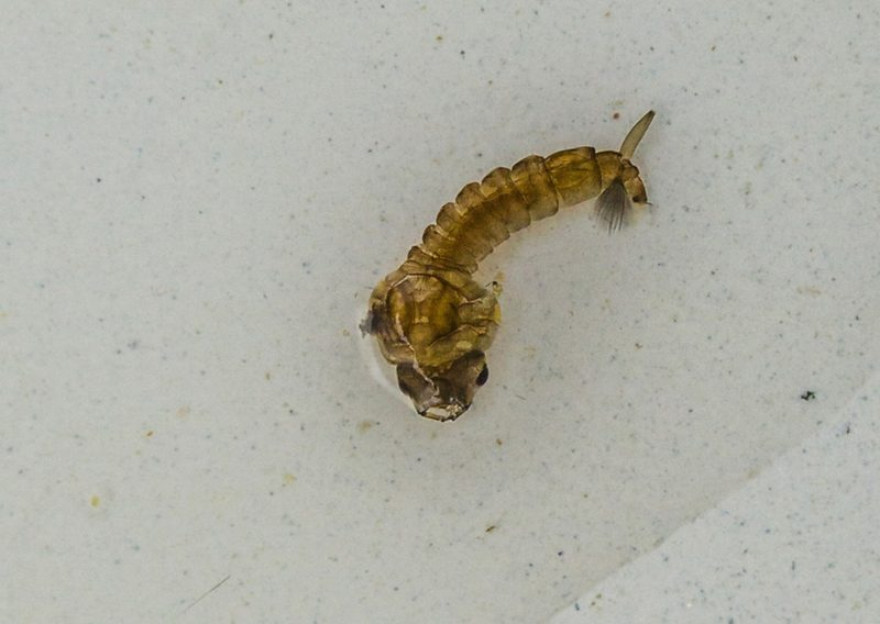 Рис. 2. Комар-хаоборида из рода Mochlonyx. Фото А. А. Широких