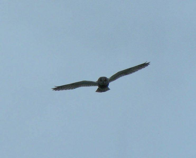 Ушастая сова атакует. Фото С. В. Кондруховой