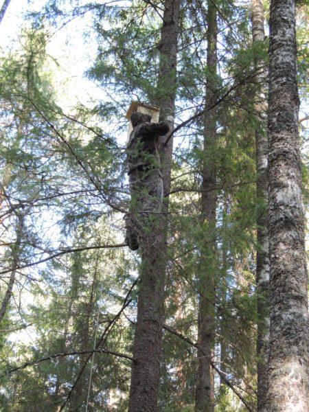 Установка совятника на дереве. Фото Е. М. Тарасовой