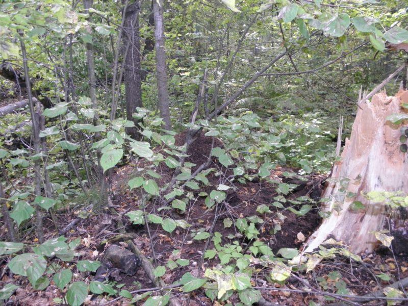 Мины липовой моли-пестрянки на листьях липы. Фото Л.Г. Целищевой