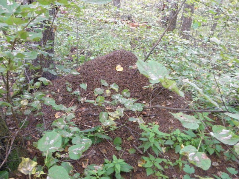 Поврежденные липовой молью-пестрянкой листья липы. Фото Л.Г. Целищевой