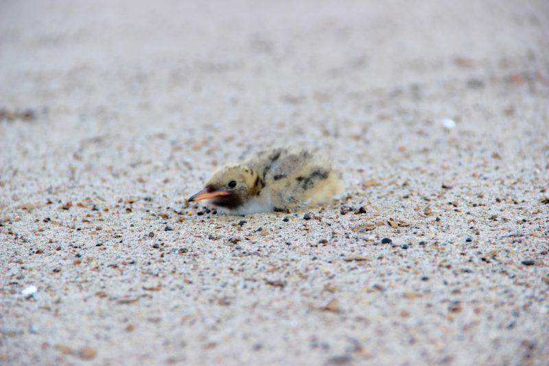 Птенец малой крачки. Фото Е. В. Князевой