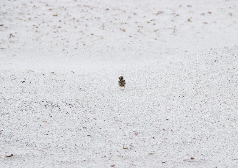 Убегающий птенец. Фото Е. В. Князевой
