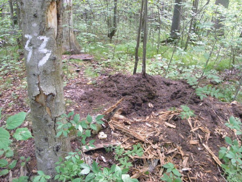 Муравейник № 33, разрытый медведем. Фото Л. Г. Целищевой