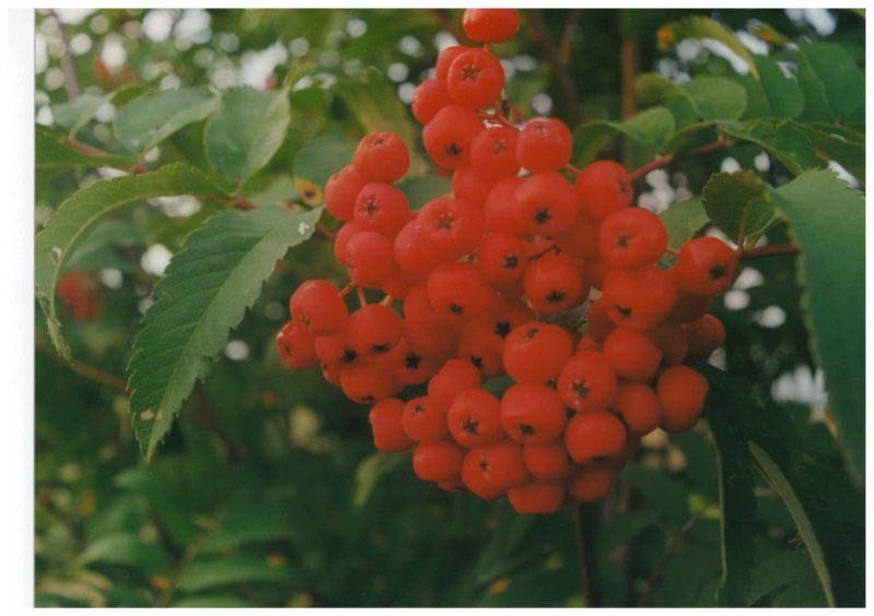 Плоды рябины. Фото Е. М. Тарасовой