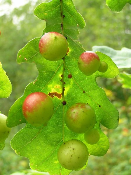 Румяные яблочки. Фото Л. Г. Целищевой